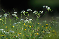 (Anthriscus sylvestris), Cow Parsley also known as Wild Chervil, Wild Beaked Parsley, and Keck and (Ranunculus acris) Meadow buttercup, Tall buttercup, Mullerthal trail, Mullerthal, Luxembourg