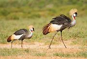 Crown Crested Cranes marching on in Samburu National Reserve, Kenya.