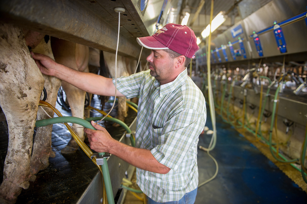 Farmer connecting dairy equipment to a cow in a milking operation in Ridgley, Maryland, USA