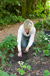 Propagating Anemone nemorosa by dividing the tubers. Replanting