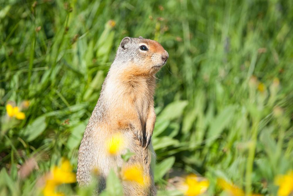 Columbian Ground Squirrel (Urocitellus columbianus),  Glacier National Park, Montana