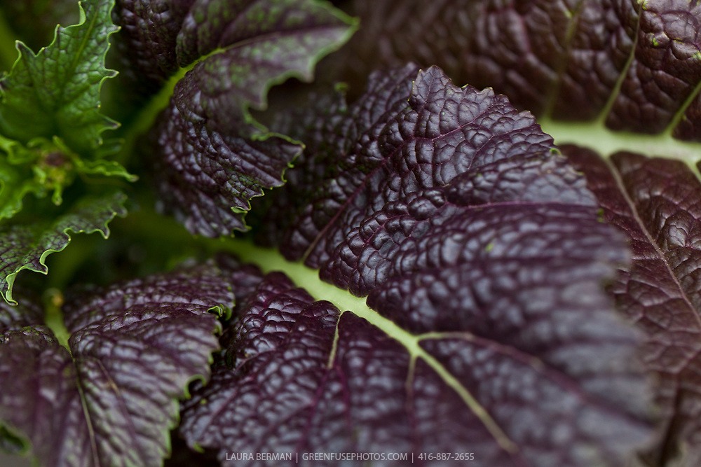 Giant Red mustard leaf