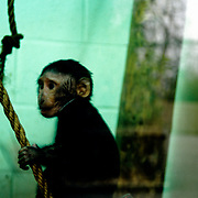 Primates in Captivity at Dublin Zoo, Ireland.