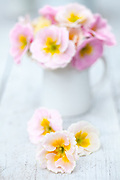 Still Life with Primula 'Sweetheart'