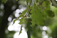 Green acorn growing on acorn tree