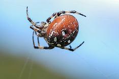 Araneae, spinnen