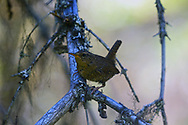 Pacific wren in a mixed conifer forest in summer. Yaak Valley in the Purcell Mountains, northwest Montana.