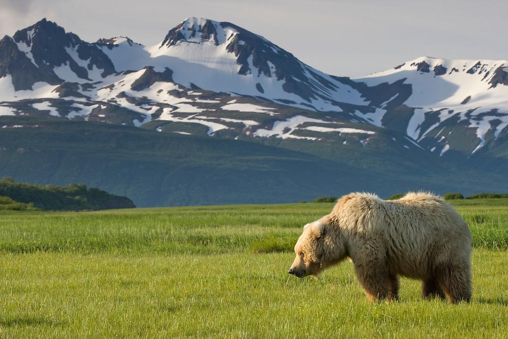 USA, Alaska, Katmai National Park, Brown Bear (Ursus arctos) feeding in sedge grass meadow along Hallo Bay