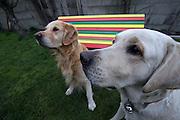 Golden Retriever Lemmy und Blindenhund Harley vor einer Rastafari Bank in der tschechischen Provinz. Der Golden Retriever ist ein intelligenter, freudig arbeitender Hund, dem auch extreme, nasskalte Witterungsbedingungen nichts ausmachen. Dem steht allerdings eine relativ starke Empfindlichkeit hinsichtlich hoher Temperaturen gegenüber. Grundsätzlich ist die Rasse ruhig, geduldig, aufmerksam und niemals aggressiv.<br /> <br /> Golden Retriever Lemmy infront of a rastafari bench located at the Czech countryside.