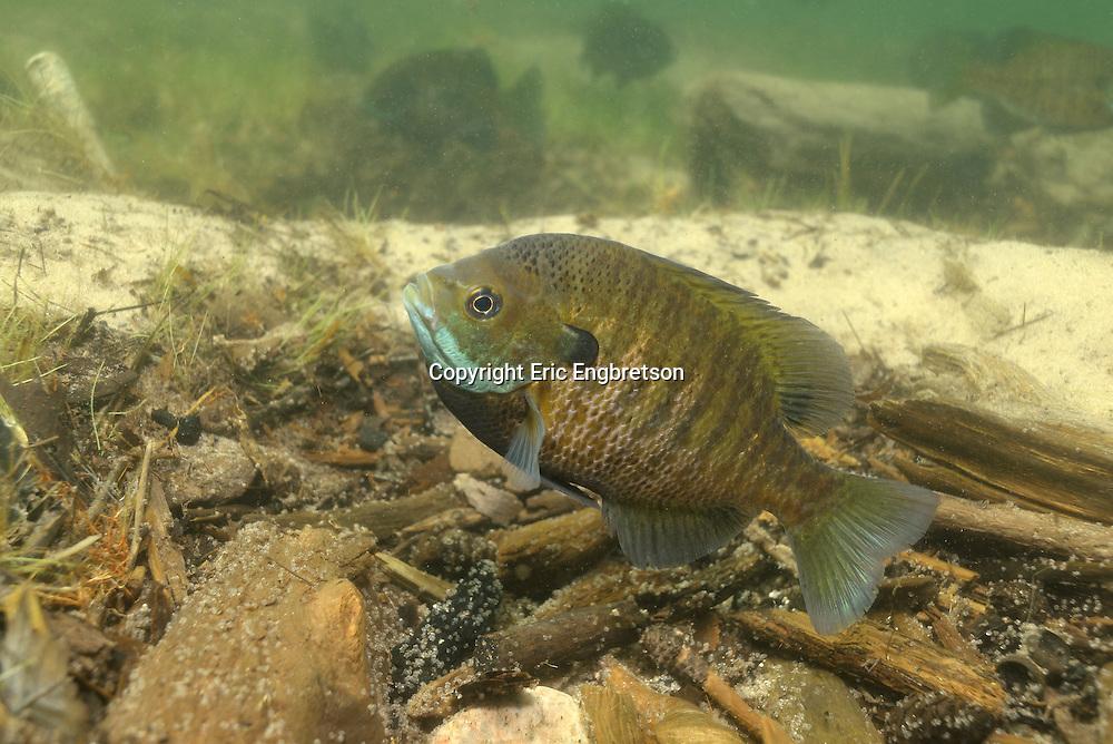 Bluegill (male guarding eggs)<br /> <br /> Engbretson Underwater Photography