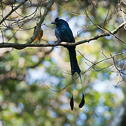 The greater racket-tailed drongo (Dicrurus paradiseus) is a medium-sized Asian bird which is distinctive in having elongated outer tail feathers with webbing restricted to the tips. They are placed along with other drongos in the family Dicruridae. Nam Nao National Park, Thailand.