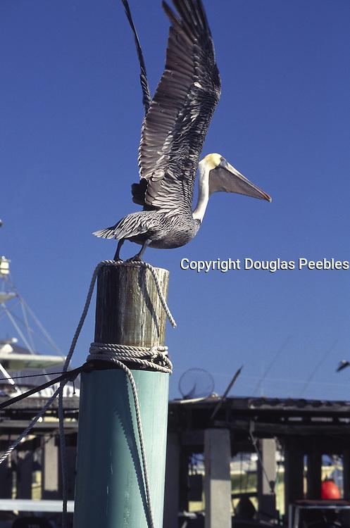 Pelican, Key West, Florida<br />