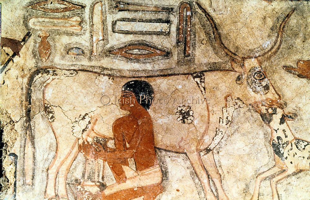Milking a cow. Mastaba (tomb) of Methethi, c2371-2350 BC, Old Kingdom: Sakkara (Saqqara)