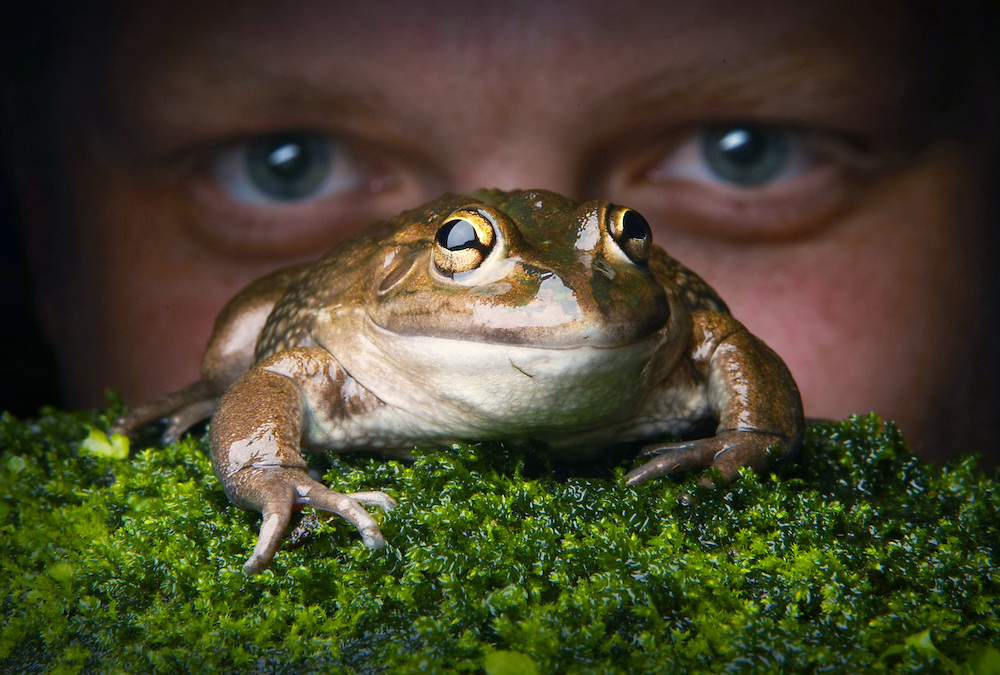 Melbourne Water have undertaken a frog census that will launch next week. Animal keeper Colin Silvey at Melbourne Museums wild frog exhibit with a Banjo Frog  Pic By Craig Sillitoe 06/01/2011 melbourne photographers, commercial photographers, industrial photographers, corporate photographer, architectural photographers, This photograph can be used for non commercial uses with attribution. Credit: Craig Sillitoe Photography / http://www.csillitoe.com<br />