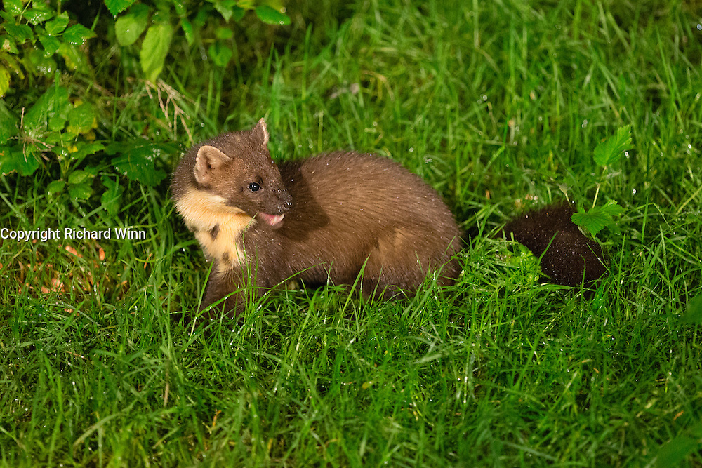 Young pine marten amongst grass at a feeding station on the Aigas Estate.