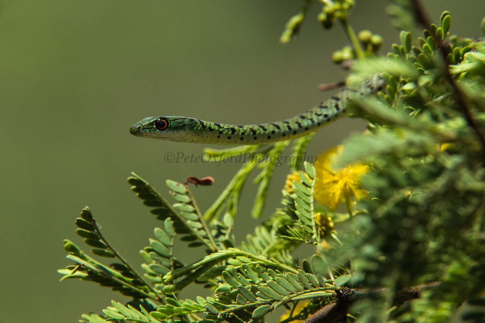 Spotted Bush Snake (Philothamnus semivariegatus)<br /> Marataba, A section of the Marakele National Park<br /> Limpopo Province<br /> SOUTH AFRICA<br /> HABITAT & RANGE: Open forest or savannah of Southern, Central Africa to Sudan and Guinea
