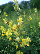 GREATER YELLOW-RATTLE Rhinanthus angustifolius (Scrophulariaceae)  Height to 60cm. Upright, semi-parasitic annual. Similar to Yellow-rattle but branched, and with subtle differences in flower structure. Grows in undisturbed grassland. FLOWERS are 15-20mm long, the corolla yellow, 2-lipped with a concave dorsal surface; the 2 teeth on the upper lip are 2mm long; in spikes with triangular, toothed and yellowish green bracts (May-Sep). FRUITS are inflated capsules. LEAVES are oblong with rounded teeth. STATUS-Rare, restricted to a few scattered locations from S England to Scotland.
