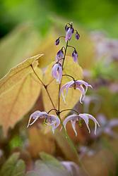 Epimedium 'Togen' with young bronze foliage
