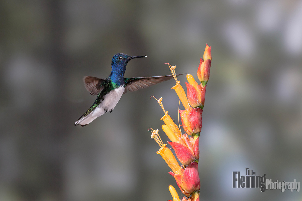 A white-necked jacobin hummingbird hovers in the topical forest of Ecuador in the Tandayapa valley.