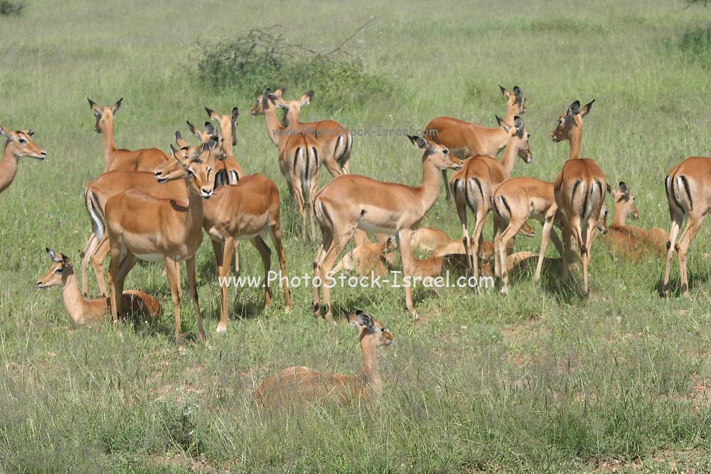 Africa, Tanzania, Lake Manyara National Park, a herd of impala (Aepyceros melampus)