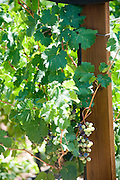 Israel, Lower Galilee, Tabor Winery, ripening Cabernet Frank grape on a vines July 2008