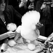 "February 11, 2013 - New York, NY : .Images from the 2013 Westminster Kennel Club Dog Show at Madison Square Garden on Monday evening. ""Angel,"" a ty poodle from Houston, with her groomer Kathy Adams, left, and co-owner Betty Brown, right. .CREDIT: Karsten Moran for The New York Times"