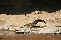 Wildbeests and Zebras gathering at the Mara river borders for a river crossing is the wake up call for the huge crocodiles that patiently wait by the river shore for this event. The crocodiles can live up 2 years without eating, but this croc runs no risk of starvation, the feast is on its way.