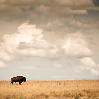A lone bison against a dramatic sky. Antelope Island, Utah