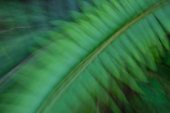 An abstract image of a fern in motion.  The image was taken in Armstrong Redwoods State Natural Reserve near Guerneville, California, Sonoma County.