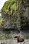 A brown bear sow known as Bearded Lady protects her spring cubs at the entrance to a small cave at the McNeil River State Game Sanctuary on the Kenai Peninsula, Alaska. The remote site is accessed only with a special permit and is the world's largest seasonal population of brown bears in their natural environment.