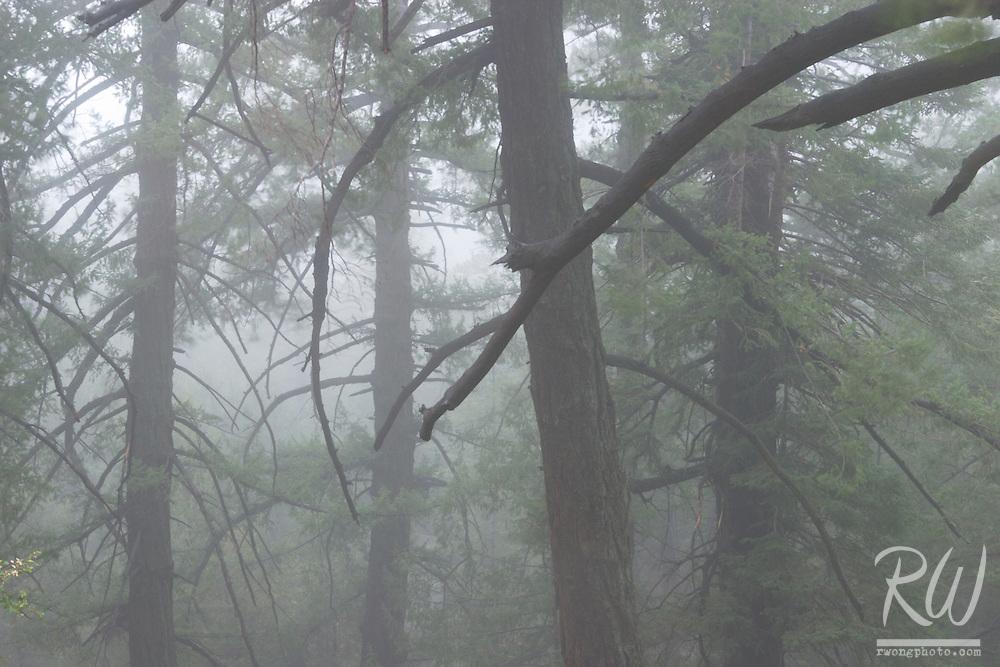 Foggy Trees in Forest, San Gabriel Mountains, California