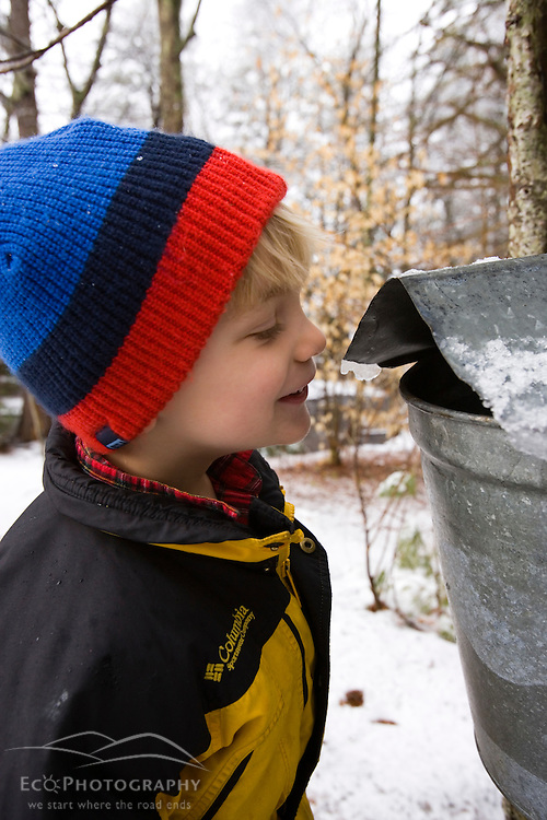 A four year-old boy peeks into a sap bucket during maple syrup season in Barrington, New Hampshire.
