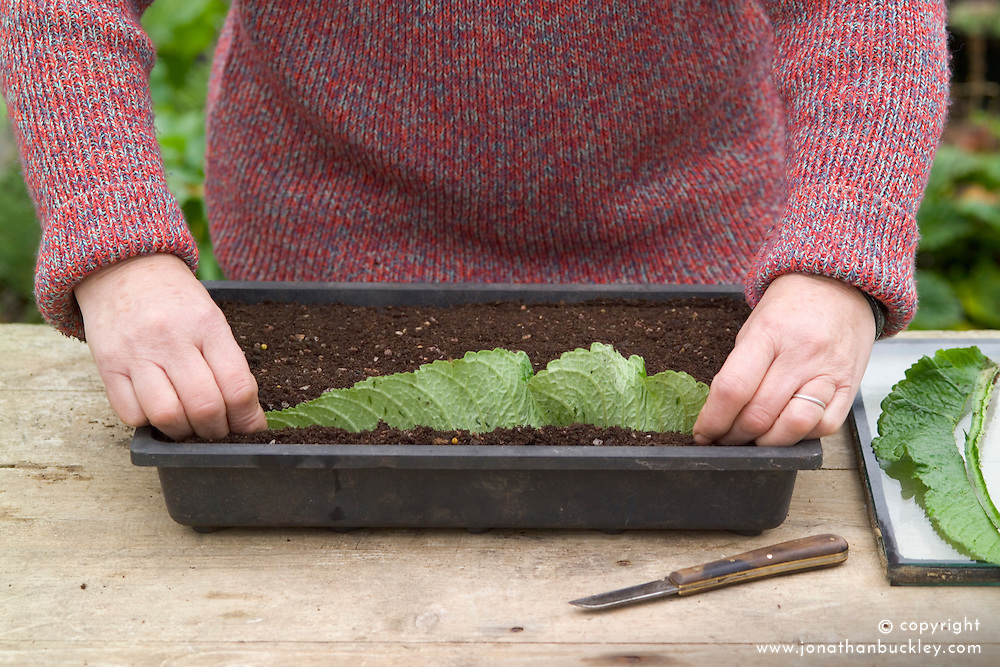 Taking leaf cuttings from streptocarpus using the Vein Cuttings method.<br /> Putting leaf into tray of compost