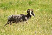 A male Bighorn sheep ram walks through a mountain meadow in the Rocky Mountain National Park in Estes Park, Colorado.