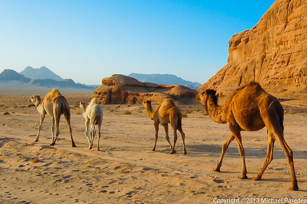 A classic desert scene: a camel caravan through Wadi Rum in Jordan