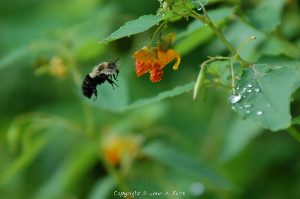 A bumble bee hovering in front of a flower.  D and R Canal, Lambertville, NJ