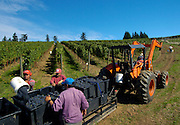 Harvesting pinot noir at WillaKenzie Estate Vineyards, Yamhill-Carlton, Willamette Valley, Oregon