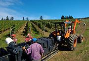 Harvesting pinot noir at WillaKenzie Estate Vineyards, Yamhill-Carlton, Willamette Valley, Oregon