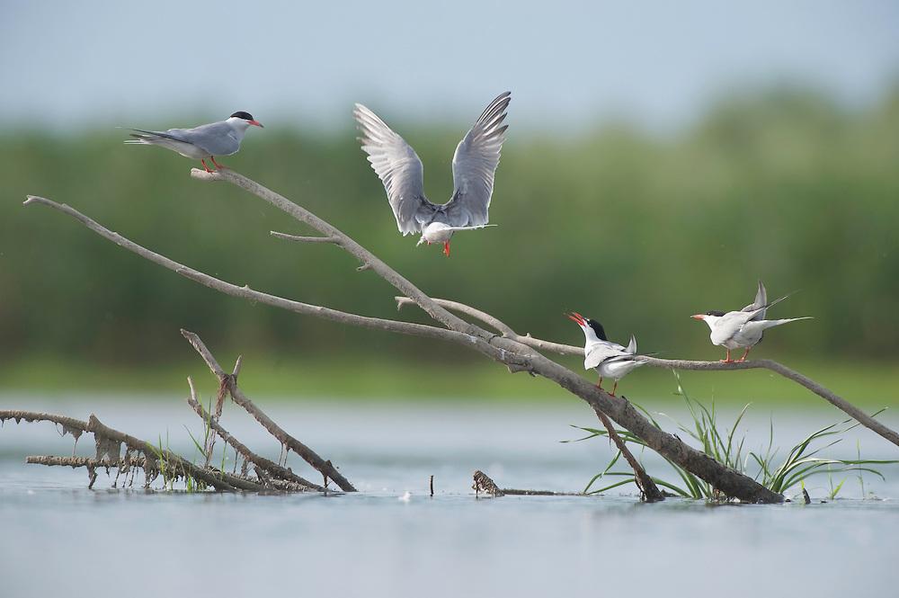 Common Tern (Sterna hirundo) on the lake Belau, Moldova