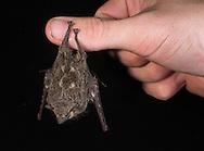 Small bat, Cocobolo Nature Reserve, Panama