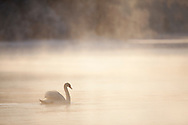 Mute swan (Cygnus olor) in winter dawn mist, Loch Insh, Scotland.