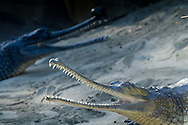 Two Indian Gharials sit with mouths open at the San Diego Zoo