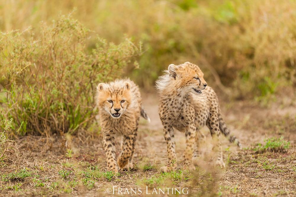 Cheetah cubs, Acinonyx jubatus, Serengeti National Park, Tanzania