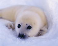 New born Harp Seal pup, Pagophilus groenlandicus, White Sea, Russia, Arctic