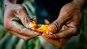 A worker at an palm oil plantation in Sumatra breaks open a fruit from the oil palm. The oil is used in your food, your shampoo, your chocolate. Palm oil accounts for 65 percent of all vegetable oil traded internationally. The demand for the oil has destroyed close to ten million acres of the jungle in Indonesia, turning it into palm oil plantations. The slash and burn together with the logging has made Indonesia the third worst emitter of greenhouse gases, after China and USA. The rain forest in Borneo and Sumatra, once a vital carbon sink, will largely dissappear within twenty years if today's pace continues. According to a Greenpeace study from 2011, up to 88 percent of the logging activities are illegal.<br /> Borneo and Sumatra are the habitats for the critically endangered Sumatra tiger (fewer than 400) and the Sumatra elephants (2400-2800), along with orangutans and Sumatra rhinos. These animals are likely to go extinct as the rainforest is wiped out.