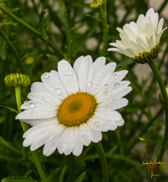 A simple daisy (my wife's favorite flower), in our garden after a spring rain.
