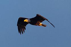 Bald Eagle (Haliaeetus leucocephalus) flies with a blue sky background in the morning, Lake Clark National Park, Alaska, United States of America