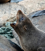 A New Zealand fur seal (Arctocephalus forsteri) yawns at Long Reef Point on the Tasman Sea near Martins Bay Hut, on the Hollyford Track, in Fiordland National Park, Southland region, South Island of New Zealand. After the arrival of Europeans in New Zealand, hunting reduced the seal population near to extinction. This mammal is known as kekeno in Maori language. Some call it Australasian fur seal, South Australian fur seal, Antipodean fur seal, or long-nosed fur seal.  In 1990, UNESCO honored Te Wahipounamu - South West New Zealand as a World Heritage Area.
