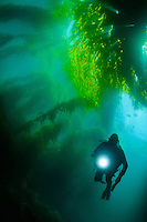 A diver navigating his way through a giant kelp habitat  at Catalina Island, California