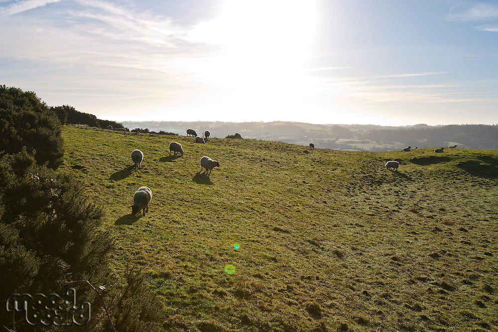Sheep grazing with sun flare, County Meath, Ireland